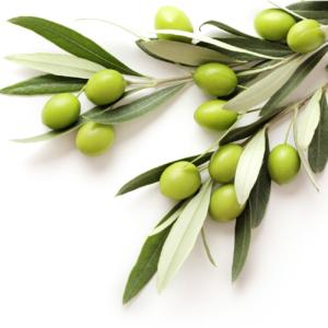 branche d'olivier avec olive pour faire de l'huile